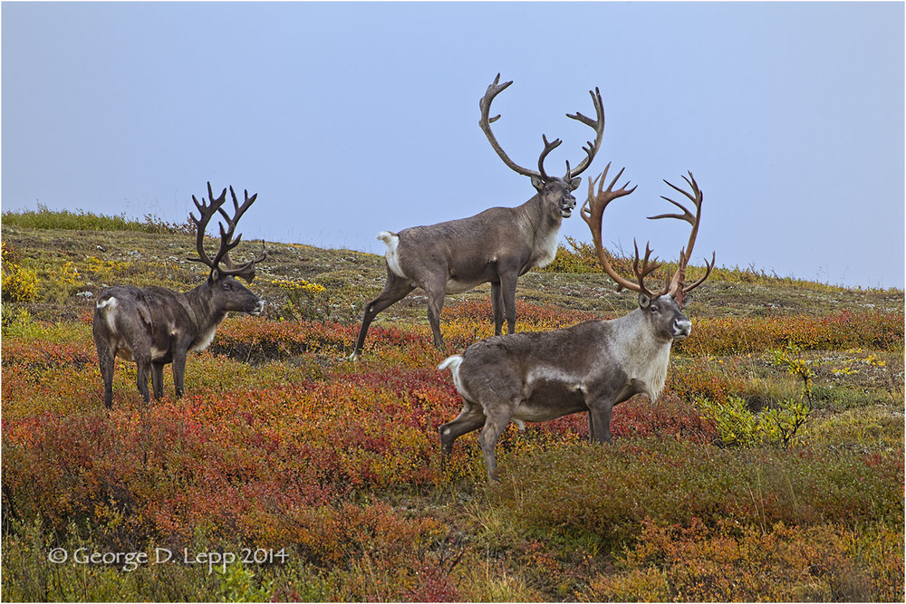 3 bull caribou in Denali National Park.