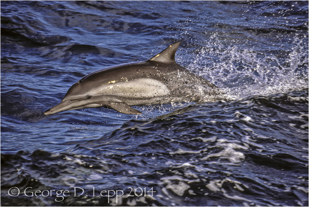 Common Dolphin, Baja California, Mexico. © George D. Lepp 2014  M-DL-CO-0012