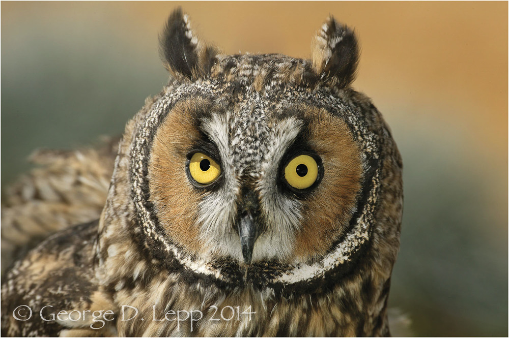 Long-eared Owl. © George D. Lepp 2014  B-OW-SH-0001