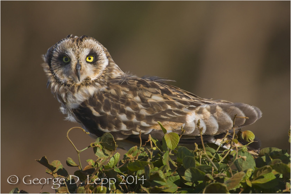 Pueo Owl, Molokai, Hawaii. © George D. Lepp 2014 B-OW-PU-0001