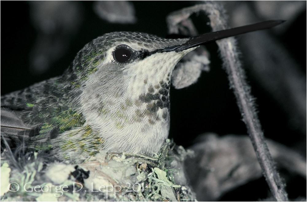 Anna's Hummingbird, CA. © George D. Lepp 2014 B-HB-AN-0001