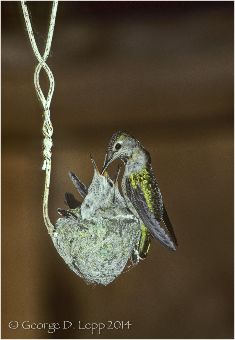 Anna's Hummingbird on cloths hanger, CA. © George D. Lepp 2014  B-HB-AN-0003