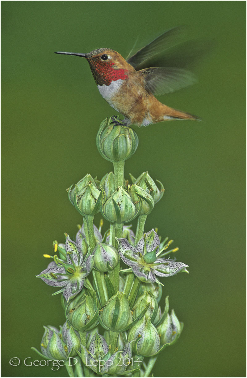 Rufous Hummingbird, CO. © George D. Lepp 2014  B-HB-RU-0005