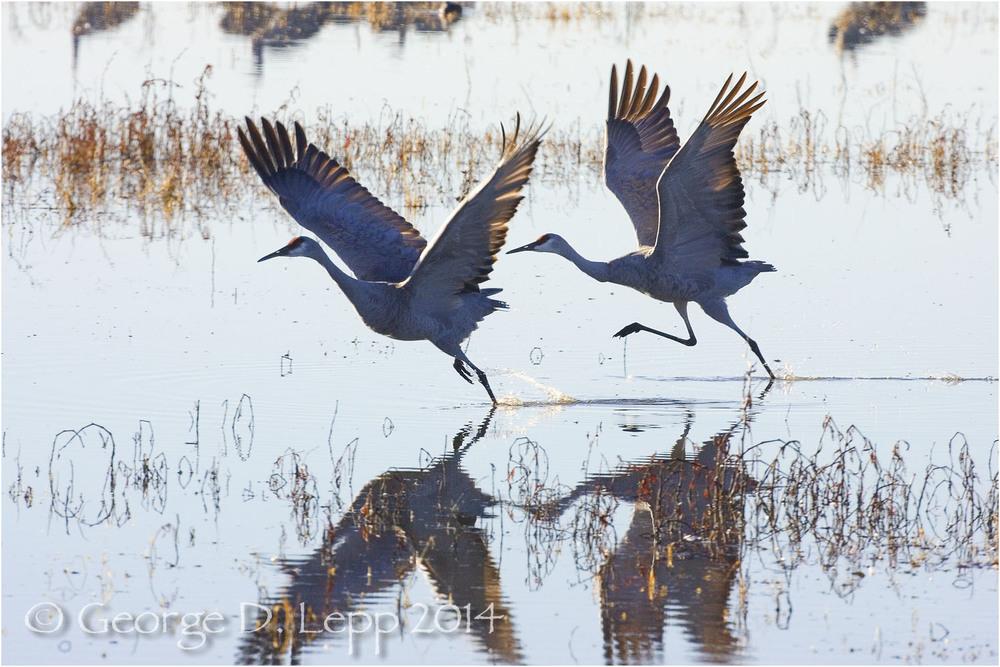 Sandhill Cranes, Bosque del Apache, NM. © George D. Lepp 2014 B-CR-SA-0019