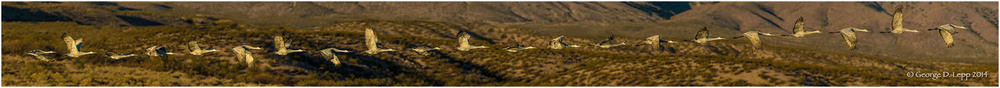 Sandhill Cranes, Action Sequence Panorama, Bosque del Apache, NM. © George D. Lepp 2014  B-CR-SA-0019