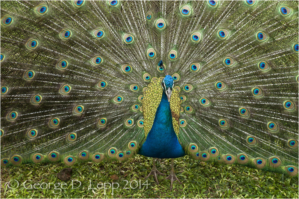 Peacock, Hawaii. © George D. Lepp 2014  B-PC-0024
