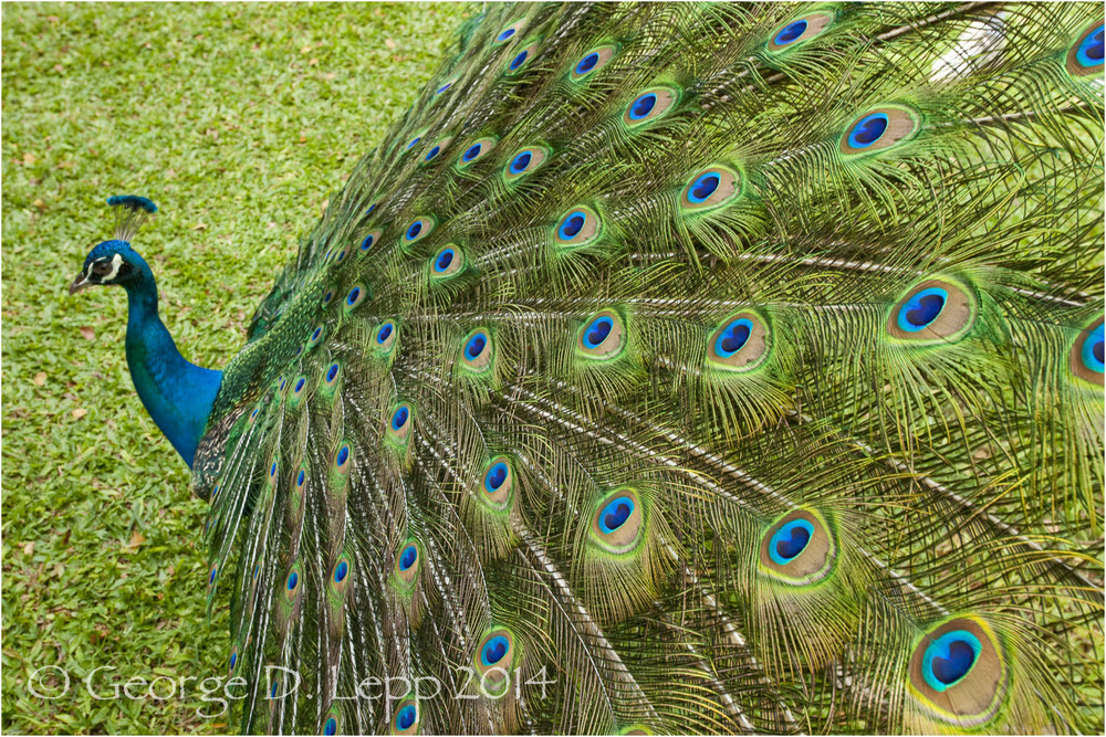 Peacock, Hawaii. © George D. Lepp 2014  B-PC-0027