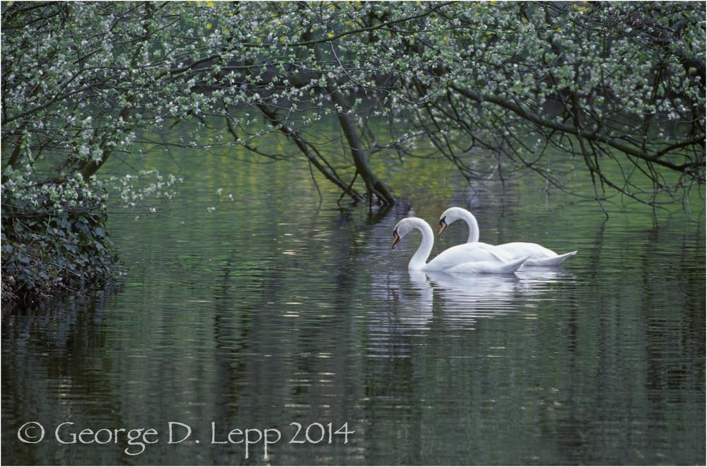 Mute Swans, Holland. © George D. Lepp B-SA-MU-0001B