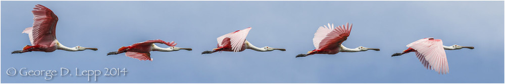 Roseate Spoonbill, Action Sequence Panorama, Florida. © George D. Lepp 2014  B-SB-RO-0006