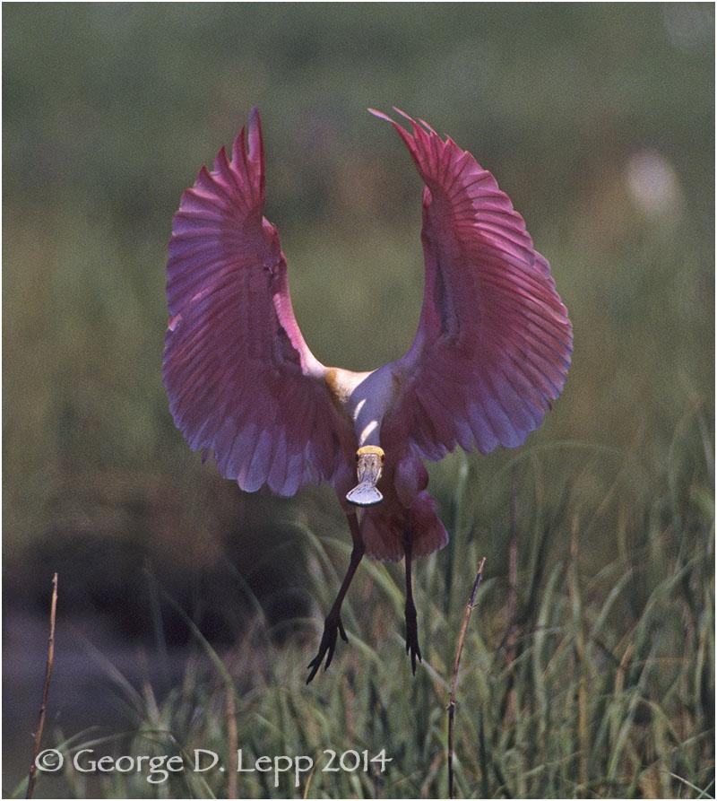 Roseate Spoonbill, Louisiana. © George D. Lepp 2014 B-SB-RO-0003