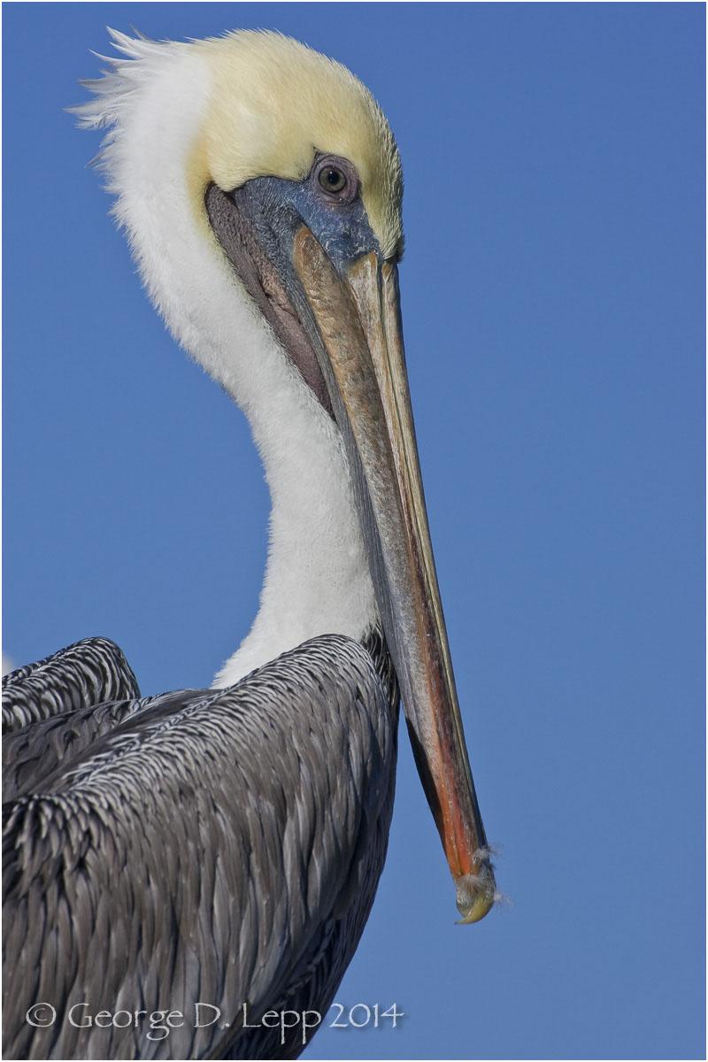 Brown Pelican, CA. © George D. Lepp 2014 B-PE-BR-0002