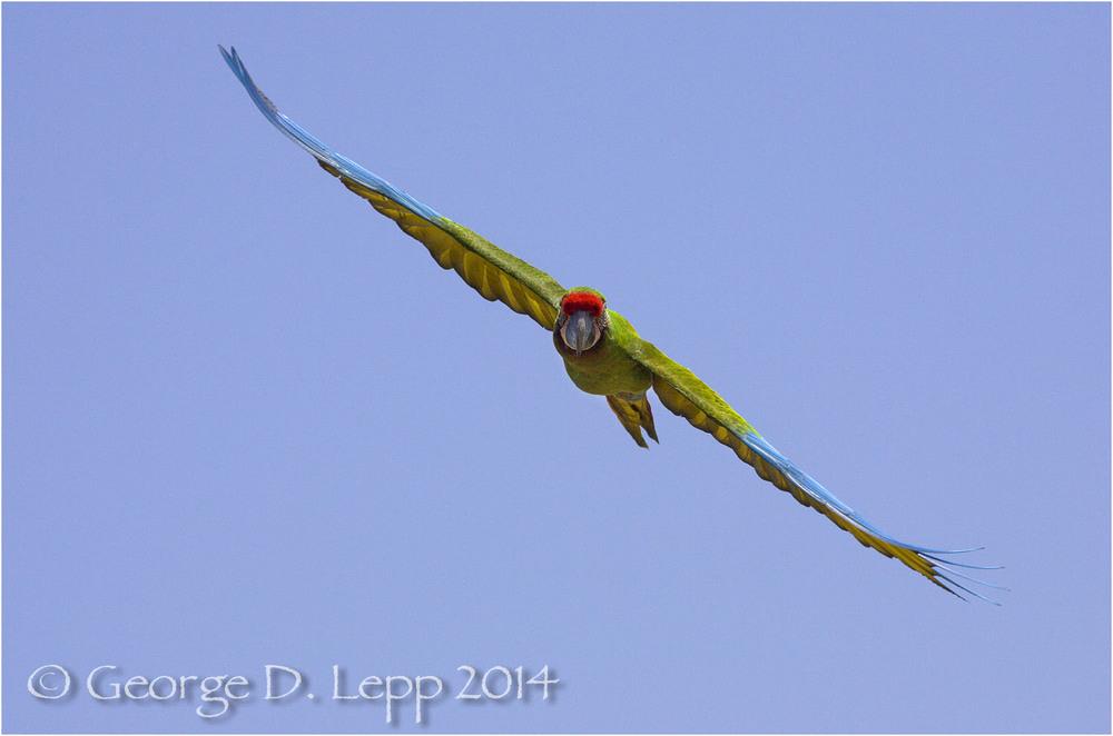 Military Macaw, {Captive) CA. © George D. Lepp 2014 BPA-MA-0003