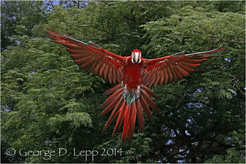 Scarlet Macaw, {Captive) CA. © George D. Lepp 2014 BPA-MA-0007