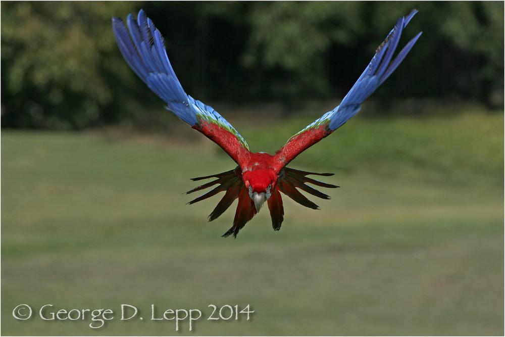 Scarlet Macaw, {Captive) CA. © George D. Lepp 2014 BPA-MA-0008