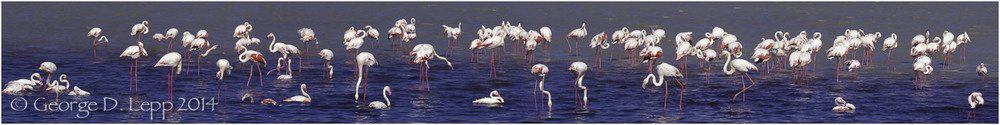 Flamingos, Tanzania, Africa. © George D. Lepp 2014 B-FL-0016