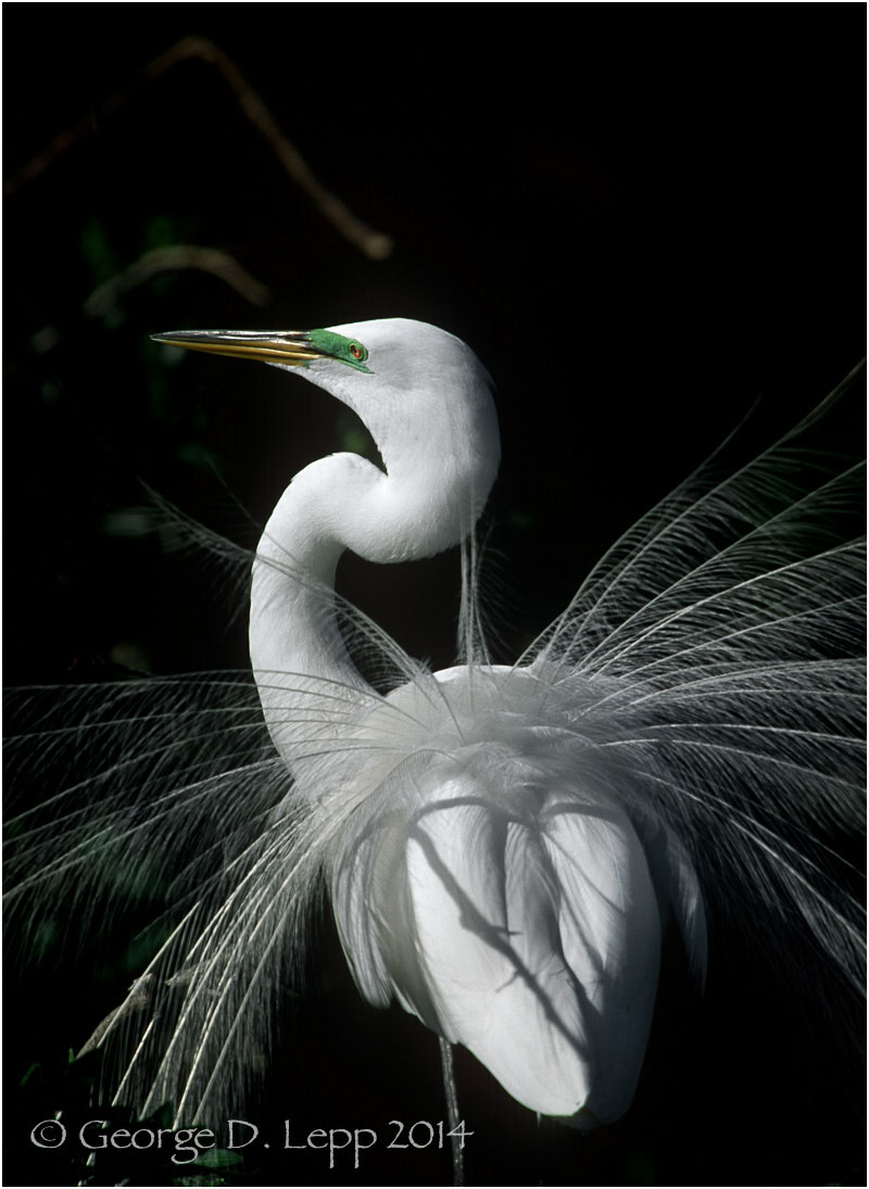 Great Egret, Florida. © George D. Lepp 2014  B-HR-GE-0082