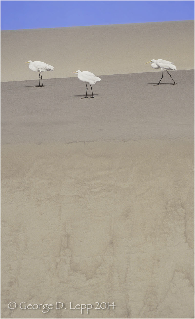Great Egrets, Morro Bay, CA. © George D. Lepp 2014  B-HR-GE-0003
