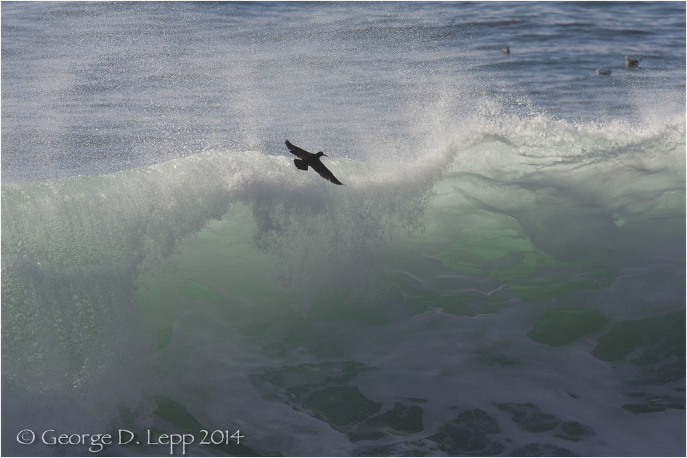 Oyster Catcher skimming the waves. © George D. Lepp 2014  LC-CC-CG-0005
