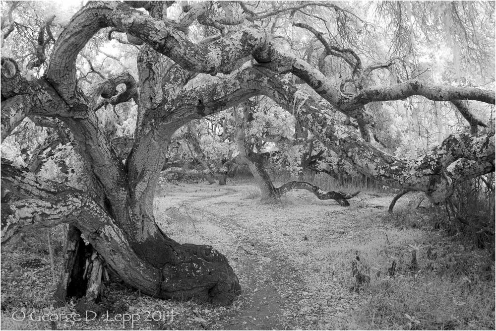 Los Osos Oaks State Preserve, CA, IR.    © George D. Lepp 2004 LC-CC-LO-2003