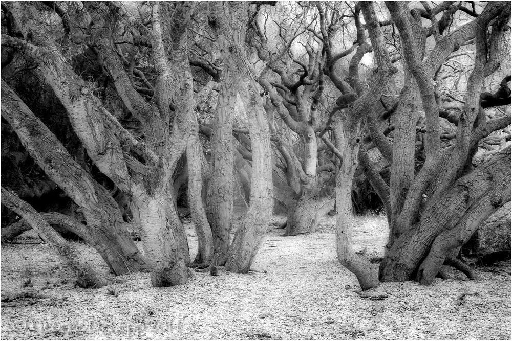 Los Osos Oaks State Preserve, CA, IR.    © George D. Lepp 2004 LC-CC-LO-2002