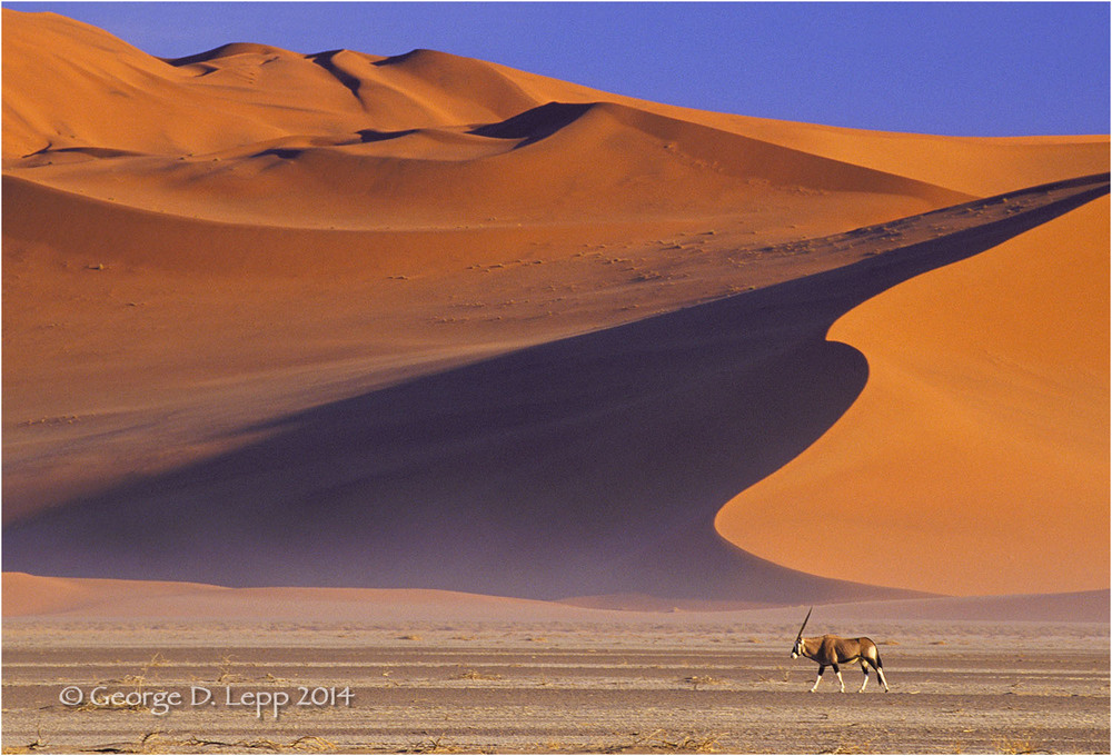 Gemsbok walking dunes in Namibia, Africa. © George D. Lepp 2014  M-AN-GE-0006
