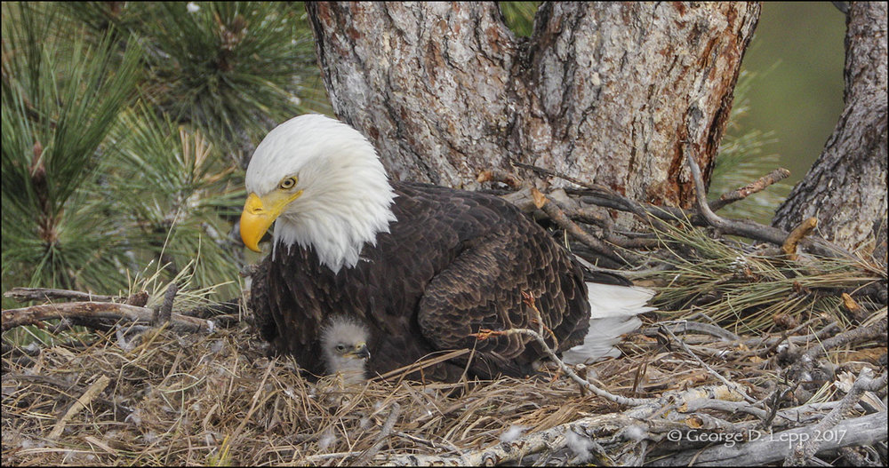 A six-day old bald eagle chick is kept warm and protected by its parent. This is a 4K frame grab from the video footage taken to create the 11 minute 4K video below. The video will play at the resolution that your system will allow.