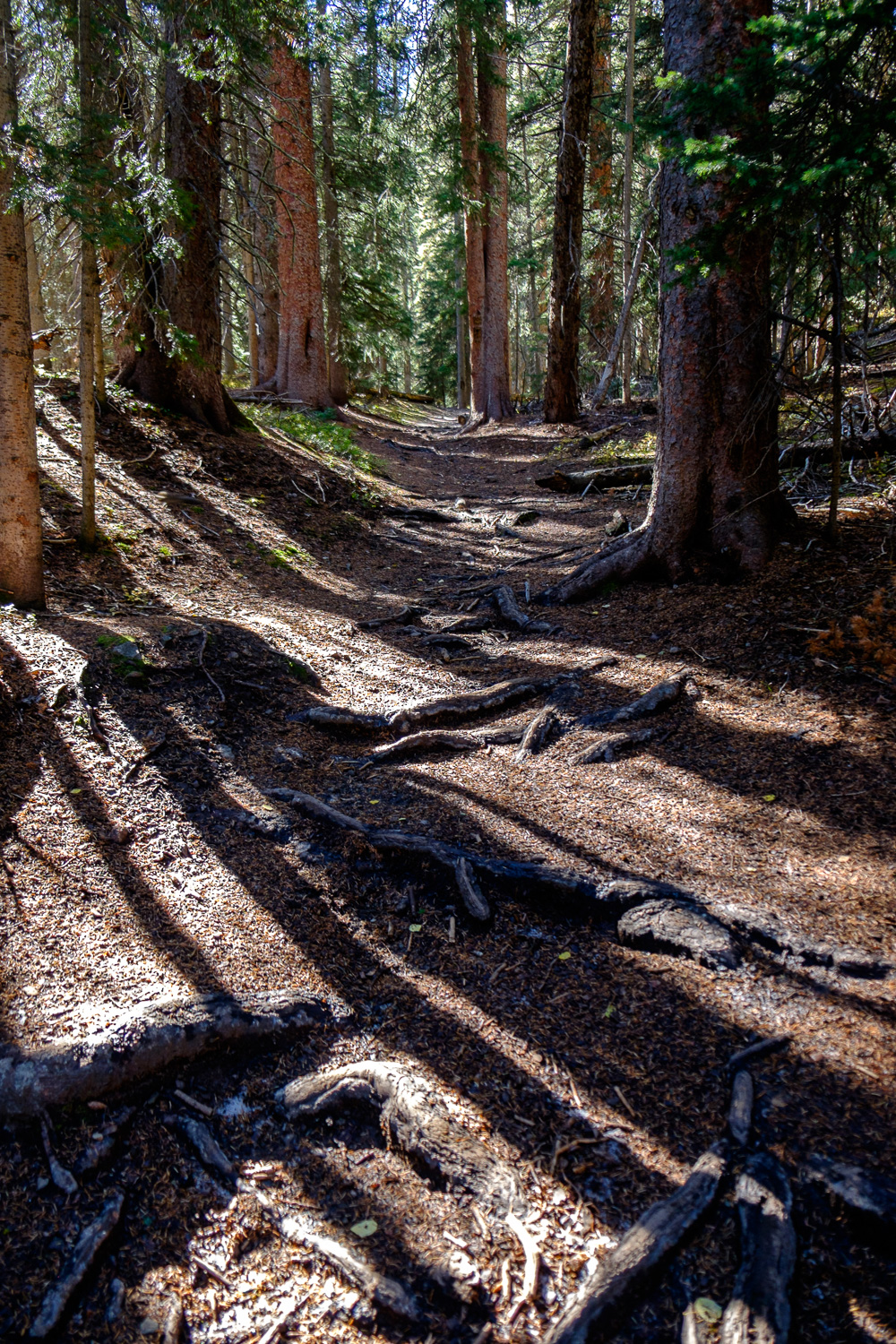 The root covered trail in dense forest