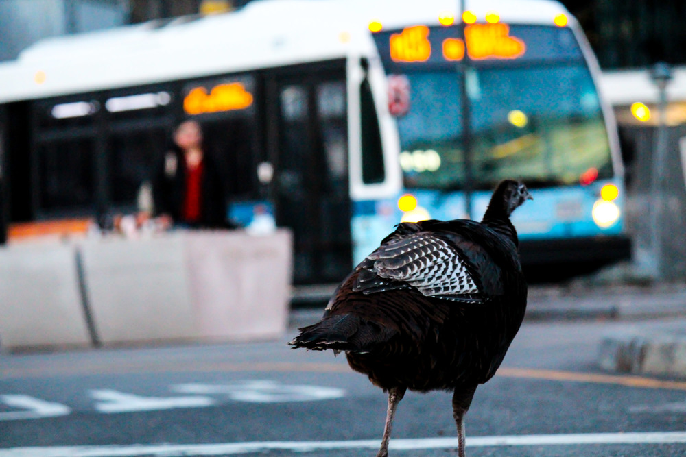 King Pigeon?? Nope! Meet Zelda, Manhattan's own completely wild turkey. Holding her ground against packs of poodles with designer haircuts, we observe Zelda waiting for the M15 uptown bus