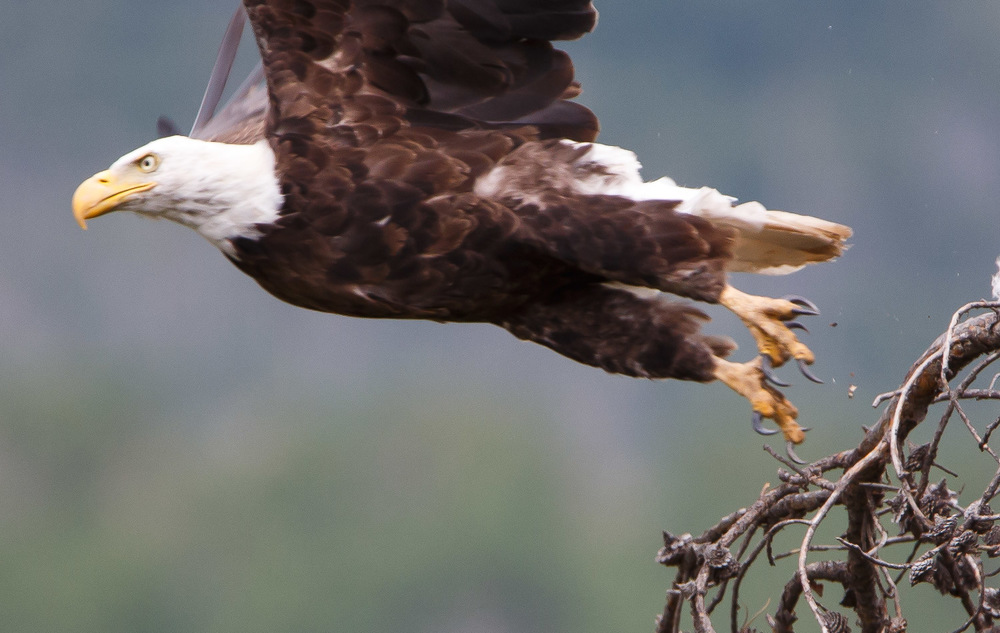 Crop of above image, you can see the branch was nice and sharp but the moving bird is blurred, my fault though.