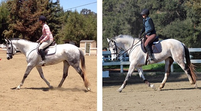 Panda, owned by Esther, is a solid Paint/TB cross. Photo on left is right after we brought her home in Summer 2014. Photo on right is after six months of training. Notice the improved muscling through the haunches and top line and length of stride as a result.