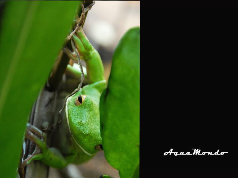 AM_LG frog.jpg