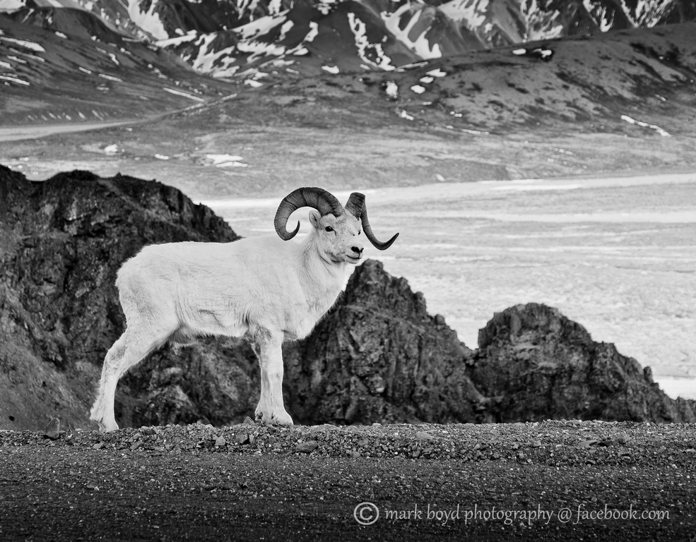 Dall Sheep - Denali