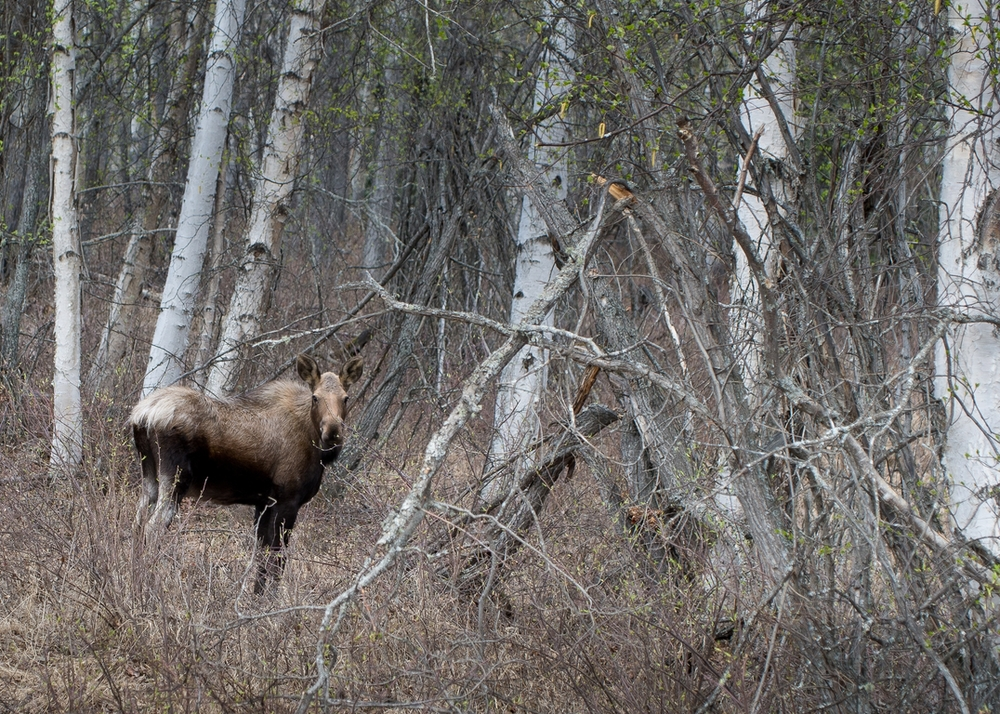 Moose in the Woods.