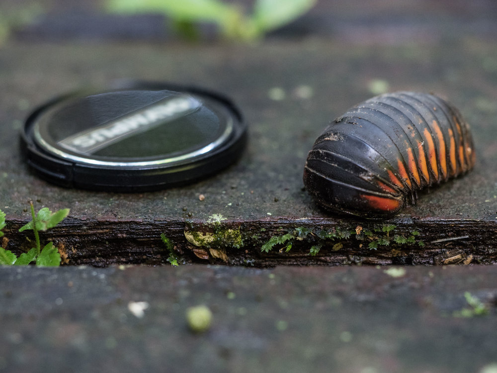 Big pill millipede