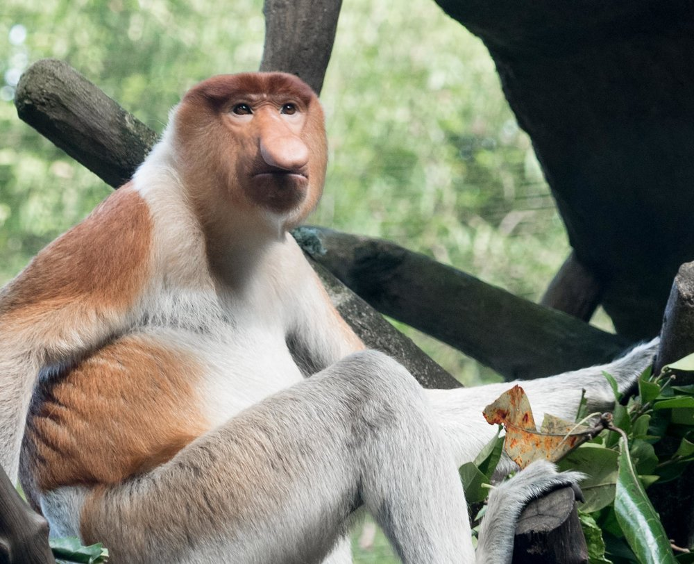 Proboscis Monkey.... Lots of these guys in Borneo....