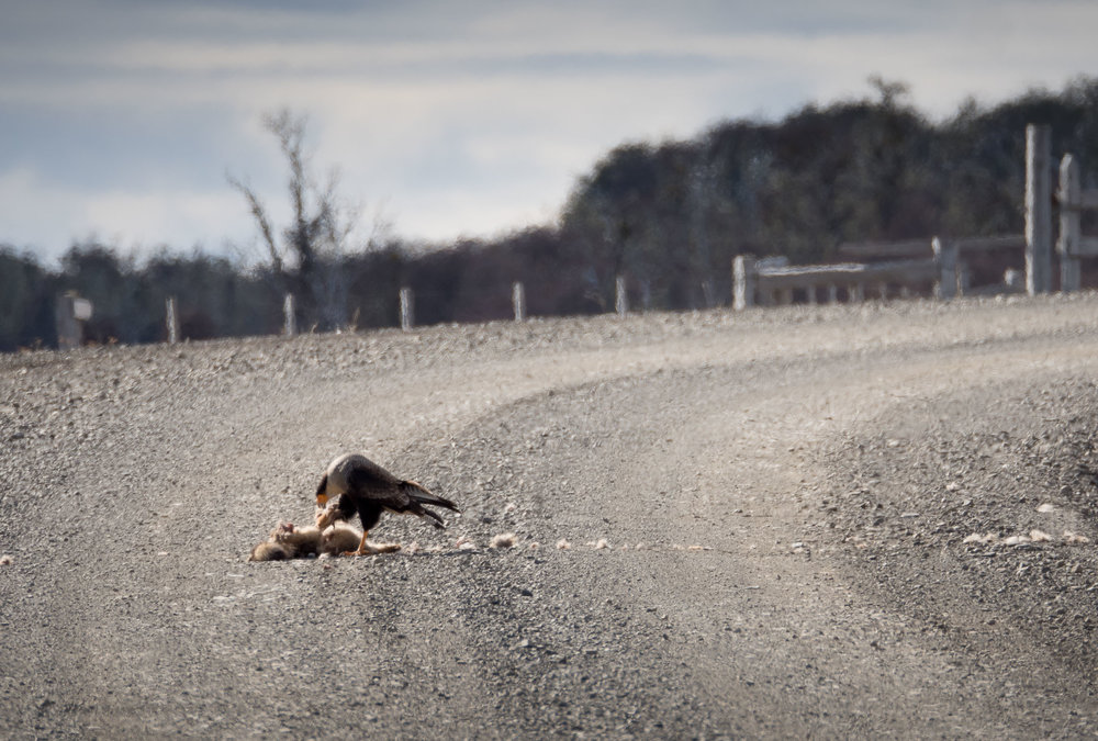 A Crested Caracara takes advantage of a free meal....