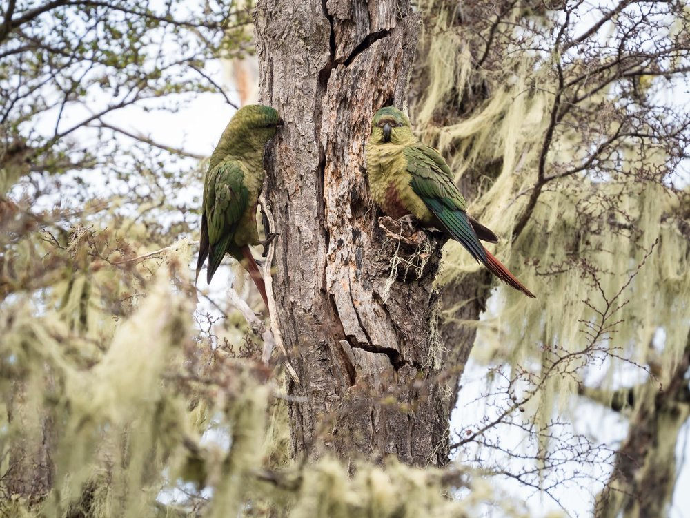 Austral Parakeets
