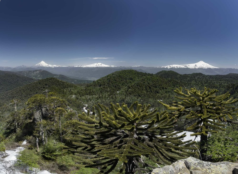 Volcanoes..... and Araucaria trees....