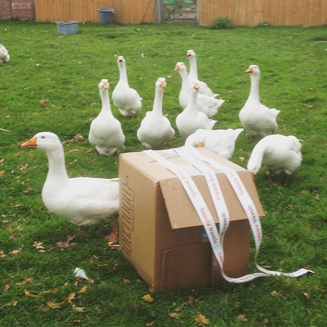 Perhaps we could deliver by carrier geese...2 days to go!!! #happybeef #beef #eatlocal #keto #frodsham #northwich #cheshirelife #healthylifestyle