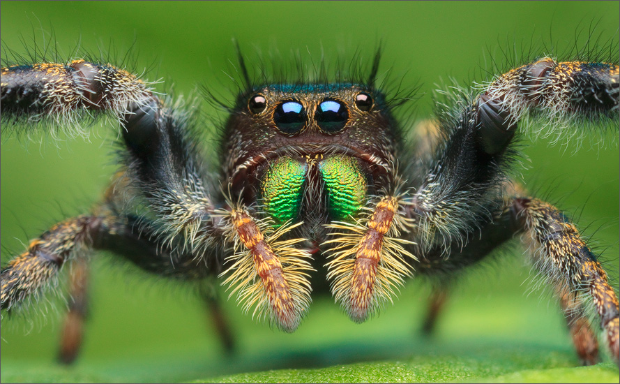 The jumping spider  Phidippus audax . Photo by  Patrick Zephyr .