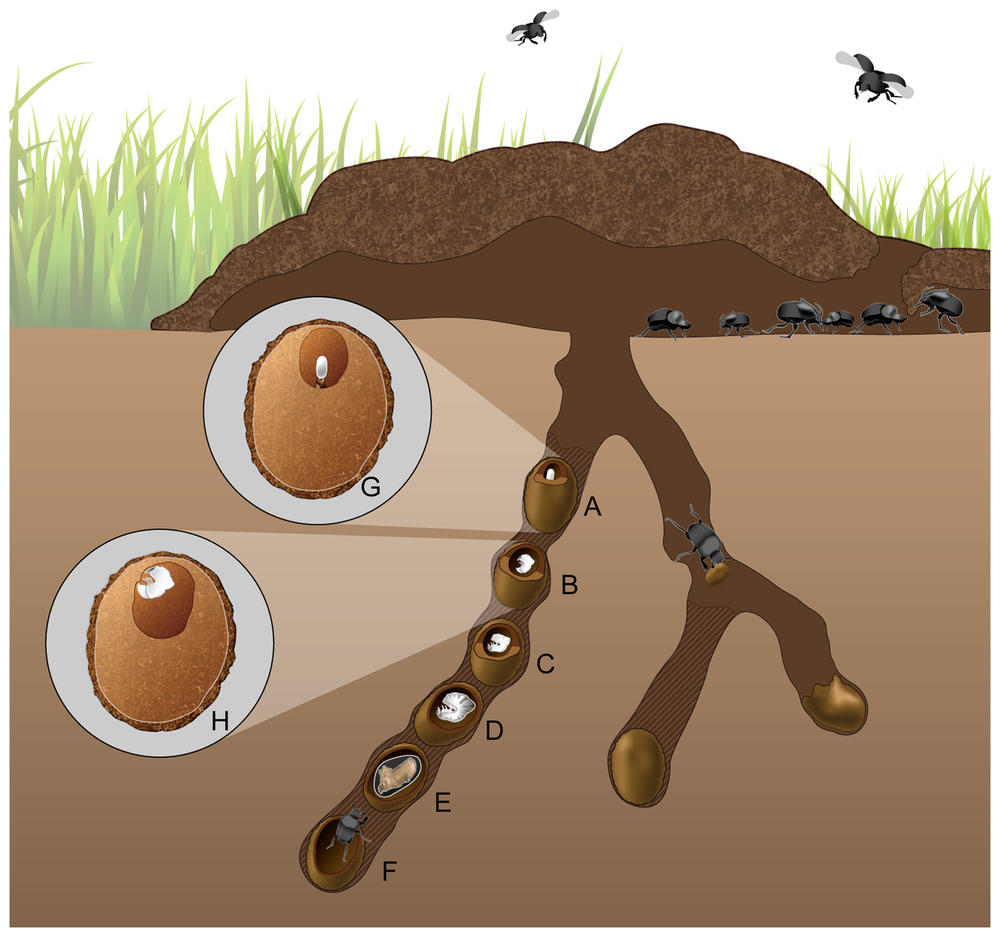 "Diagram of the brood cells of Onthophagous beetles. ""Females lay several brood balls in each tunnel that would all be at the same developmental stage. However, for illustrative purposes all life stages are represented in one tunnel. These stages include the: (A) egg, (B) 1st larval instar, (C) 2nd larval instar, (D) 3rd larval instar, (E) pupa, and (F) an eclosing adult beetle that is tunneling toward the surface. The brood ball chamber is larger with each successive life stage as the larva feeds on the chamber walls within the brood ball. The top inset shows (G) the fecal pedestal the egg is positioned upon in brood ball. The bottom inset shows (H) the larval instar feeding on the walls of the brood ball chamber."" From Estes et al. 2013."