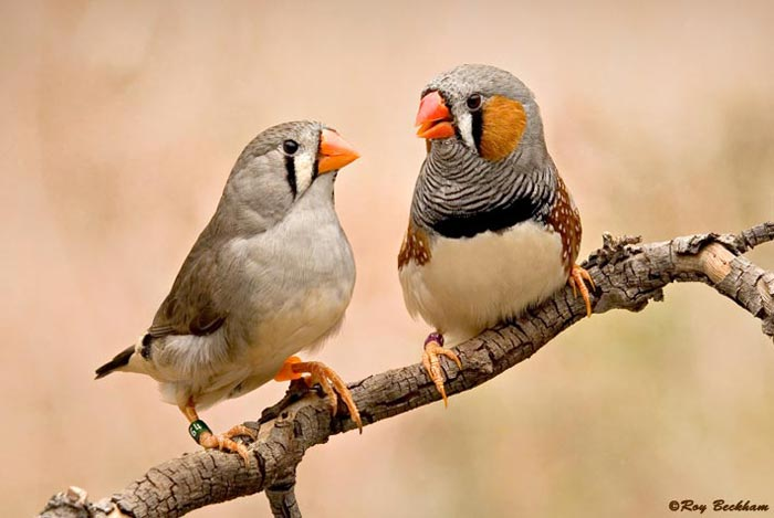 A female (left) and male (right) zebra finch,  Taeniopygia guttata
