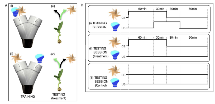 """Figure 1. Training and testing protocol for associative learning in pea seedlings. (A) During training seedlings were exposed to the fan [F] and light [L] on either the same arm (i) or on the opposite arm (ii) of the Y-maze. The fan served as the conditioned stimulus (CS), light as the unconditioned stimulus (US). During testing with exposure to the fan alone two categories of responses were distinguished. Correct response: Seedlings growing into the arm of the maze where the light was ""predicted"" by the fan to occur [green arrow; iii (corresponding to scenario i) and iv (corresponding to scenario ii)]; Incorrect response: Seedlings growing into the arm of the maze where the light was not ""predicted"" by the fan to occur (black arrow; iii and iv). (B) Seedlings received training for three consecutive days before testing. Each training day consisted of three 2-h training sessions separated by 1-h intervals. The 90-min CS preceded the 60-min US by 60minutes so that there was a 30-min overlap. (i). During the 1-day testing session, seedlings were exposed to the fan alone for three 90-min sessions (ii). Seedlings of the control group were left undisturbed (no fan, no light; iii)."" From Gagliano et al. 2016 ."