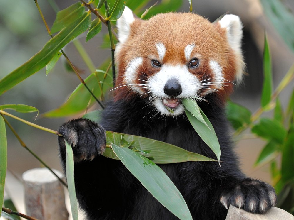 The red panda. I cannot find a source for this photo. But it is so excellent! I apologize.