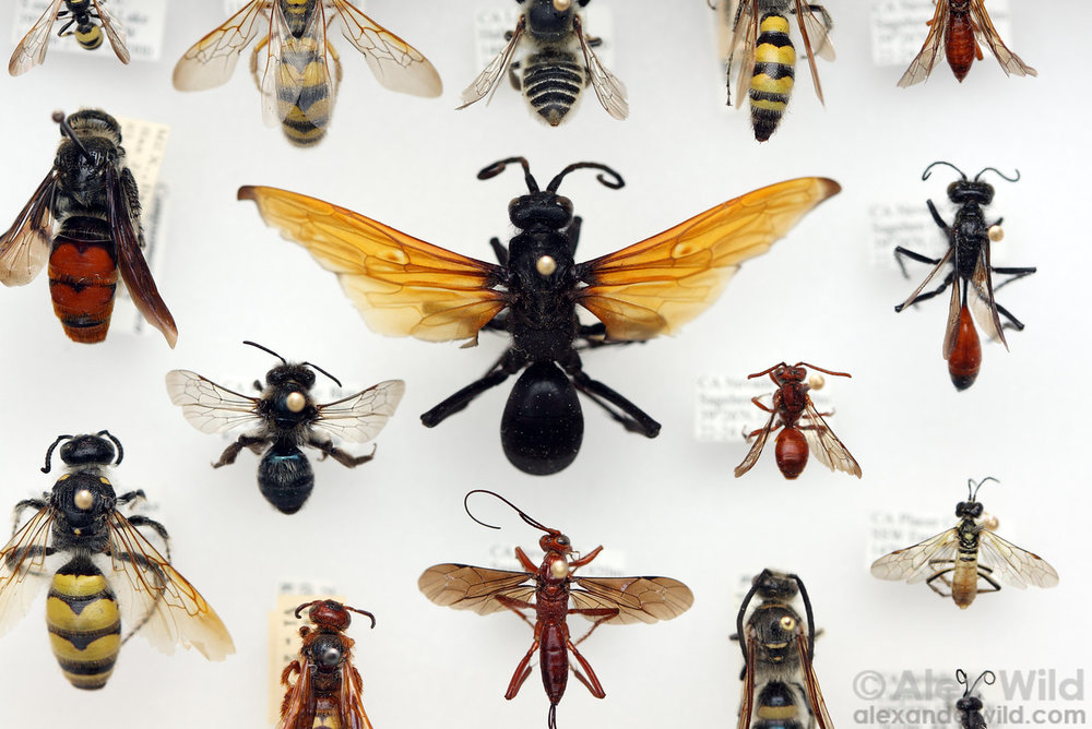 Some representatives of the Hymenoptera, the sawflies, ants, wasps, and bees. Photo by  Alex Wild .