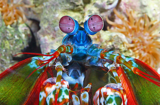 The truly spectacular peacock mantis shrimp. Photo by George Graff.