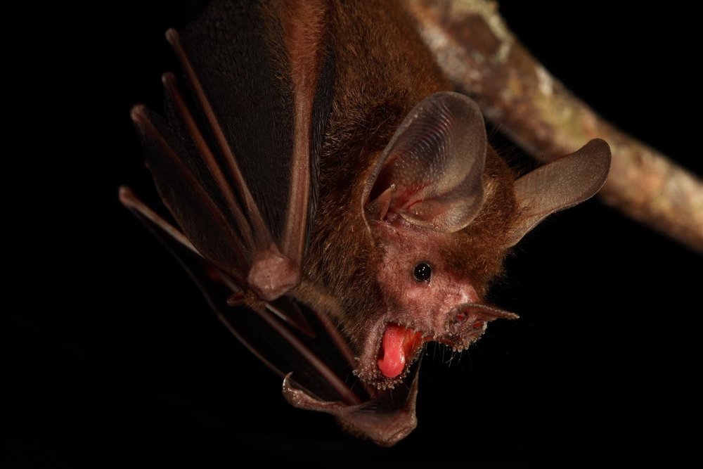 The fringe-lipped (also called frog-eating) bat,  Trachops cirrhosus . Photo by  Christian Ziegler .