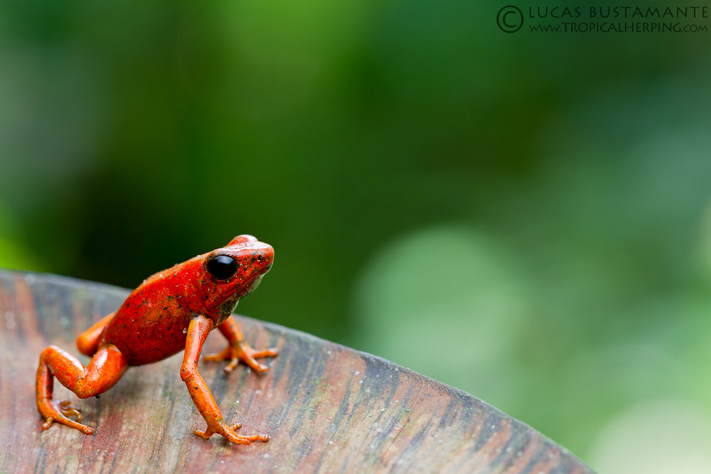 The little devil frog,  Oophaga sylvatica , is one of the poison dart frog species in this study. Photo by Lucas Bustamante.
