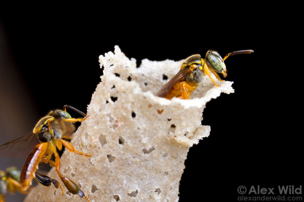 Neotropical stingless bees, Tetragonisca angustula , at the entrance to their nest. Photo by  Alex Wild .