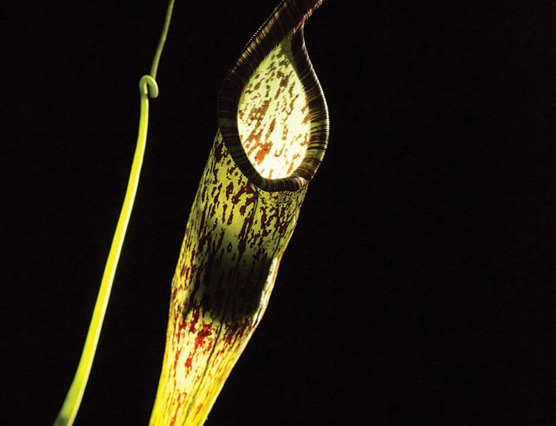 Bat inside a pitcher plant roost. Photos by Merlin Tuttle.